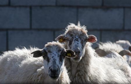agri: Sheep
