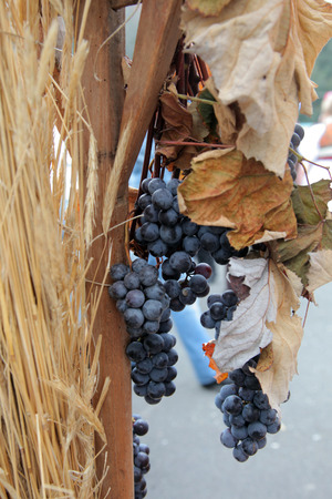grape cluster: Blue grape cluster with leaves