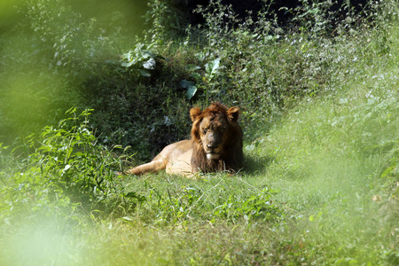 panthera leo: Lion (Panthera leo)