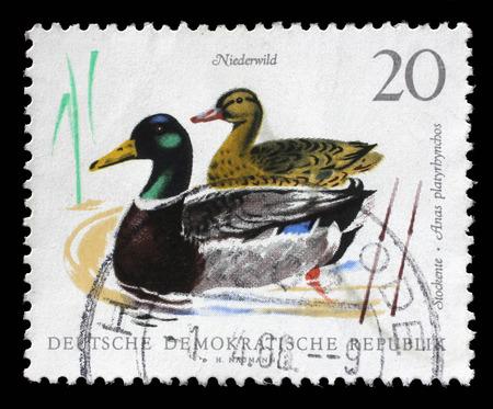 gdr: Stamp printed in GDR shows Mallards, Wild Duck, Anas Platyrhynchos, Bird, circa 1968 Editorial