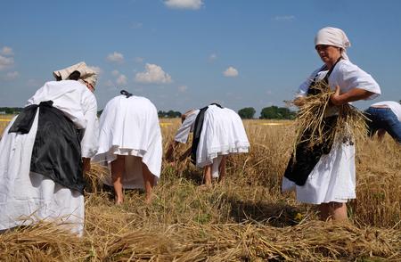 guadaña: Las campesinas cosecha de trigo con guadaña en campos de trigo en Nedelisce, Croacia el 02 julio, el año 2016 Editorial