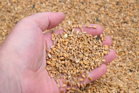 Hand holding golden wheat seed