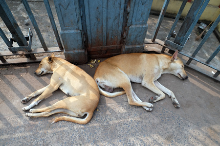 west bengal: Dogs sleeping on the ground around Kalighat temple in Kolkata, India