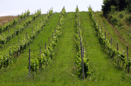 Rows of young grapes in the countryside Plesivica in continental Croatia Stock Photo