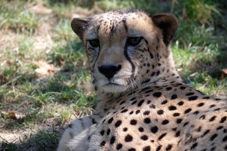 Cheetah potrait