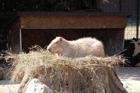 Capybara - Kapibara (Hydrochoerus hydrochaeris), the largest living rodent in the world Banco de Imagens