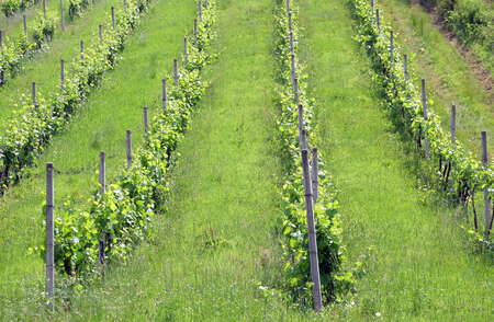 Rows of young grapes in the Plesivica countryside in continental Croatia