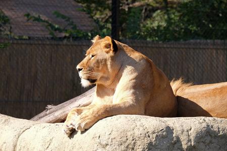 Lion (Panthera leo)