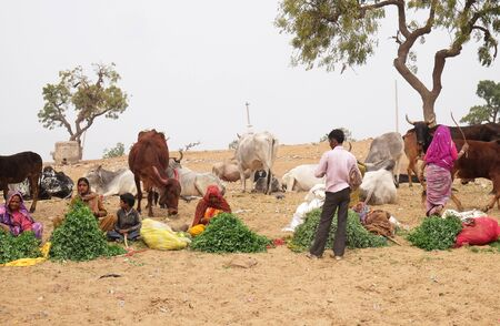 Women selling grass stalks to Hindu passersby for them to feed to the cows which are revered by their religion  in Pushkar, India