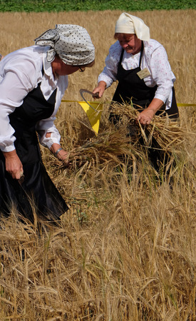 Peasant woman harvesting wheat with scythe in wheat fields in Nedelisce, Croatia on July 02, 2016
