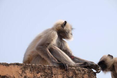 Gray Langur on Wall at Amber Fort in Jaipur, Rajasthan, India 版權商用圖片