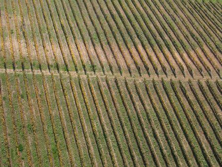 Green rows of grapevine under sun in Plesivica vineyard region, Croatia