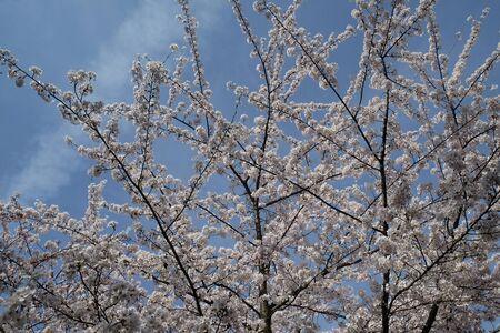Close up of fruit flowers in the earliest springtime Stock fotó