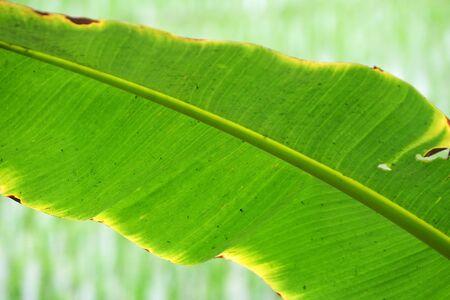 Banana tree leafs, Kumrokhali, West Bengal, India