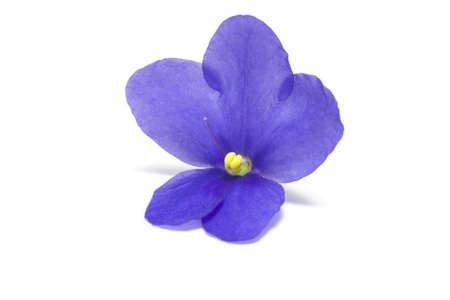 Violet on a white background  Macro  Stock Photo