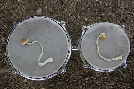 bongos: Psilocybin, hallucinogenic mushrooms lie on drums