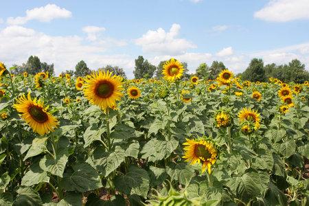 sunflower seeds: Many sunflowers. Field of sunflowers.