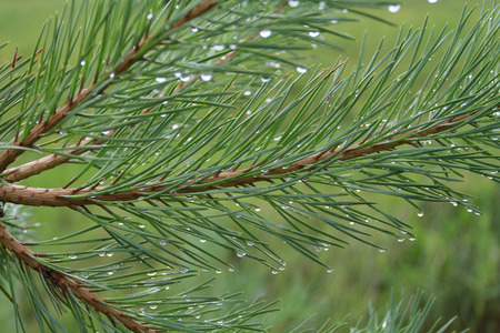 scurvy: Pine branches in drops of rain or dew. On blurred background