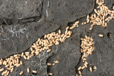 larvae: Ants are the tunnels of ant larvae