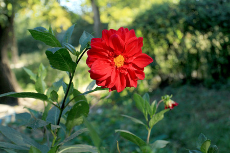 dilute: Big red flower dahlia with yellow center Stock Photo