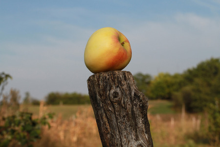 Ripe yellow apple with pink spots lies on the stump. Autumn harvest.