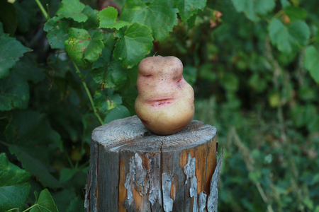 flirtatious: Potatoes on the stump. Flirtatious womans face at the root of potatoes.