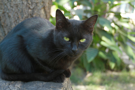 grapple: Black cat with green eyes on a background of summer foliage looks into the camera.