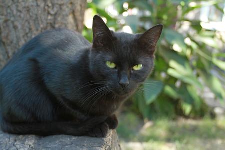ojos negros: Gato negro con los ojos verdes en un fondo de follaje de verano se ve en la cámara.