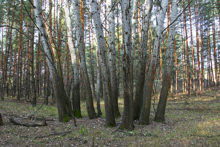 boron: Group aspens are highlighted by the sun on a background of pine forest