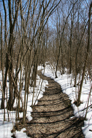 thawed: Thawed path in the midst of a snow-covered forest on a bright sunny day. Winter landscape