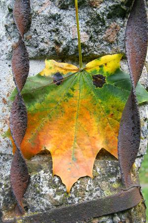 rejas de hierro: Hojas de otoño brillantes con los ojos en el cemento gris con barras de hierro
