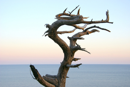 juniper tree: Dried juniper tree like a dragon against a background of calm sea