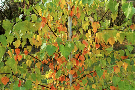 etude: Young birch tree with red, yellow and green leaves. Bright Autumn etude. Stock Photo