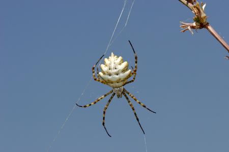 Spider Web Spider of the genus Argiope. The poison paralyzes argiopy invertebrates and vertebrates Stock Photo