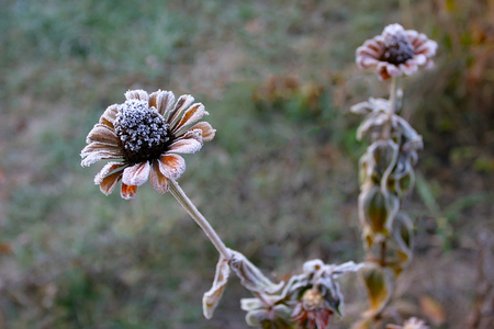 early: Early sudden frosts. Hoarfrost lies on the petals of a flower tsinii.