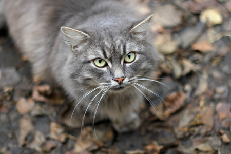 Fluffy gray cat looking at the camera