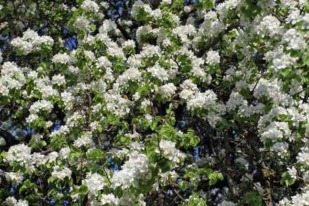 Wild Pear, all strewn with white flowers gathered in inflorescences