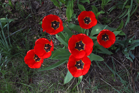 Group of bright red tulips with black midway bloom in spring on a bed on top of the photo. Stock Photo
