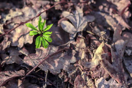 A green sprout are pierced through fallen old leaves in the forest against a background of dry yellow oak leaves.Nature wakes up.The power of a green sprout. The green grass sprouted through the fallen leaves, the beginning of life. New life Zdjęcie Seryjne