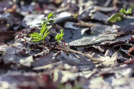 A green sprout are pierced through fallen old leaves in the forest against a background of dry yellow oak leaves.Nature wakes up.The power of a green sprout. The green grass sprouted through the fallen leaves, the beginning of life. New life Stockfoto