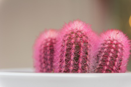 Pink cactus with blurred background. abstract, agave backdrop Stockfoto