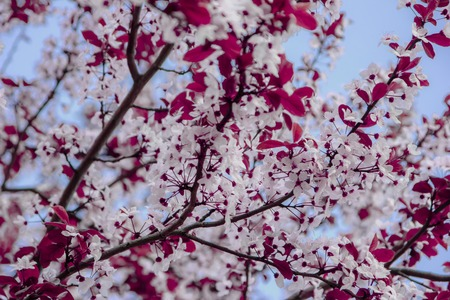 Beautiful flowering cherry branches against the blue sky background.