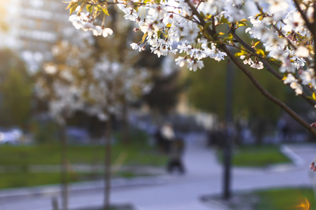 A blossoming tree against a background of a blurred park lit by the setting sun. Stockfoto