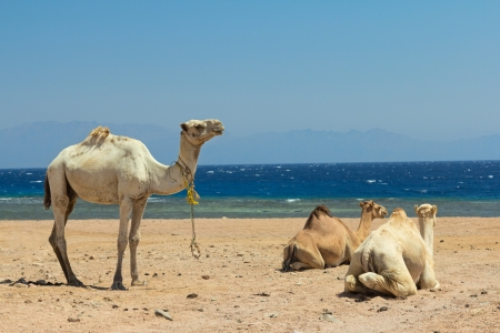 Camel on the beach at a Red sea.  Dahab,Sinai, Egypt. photo