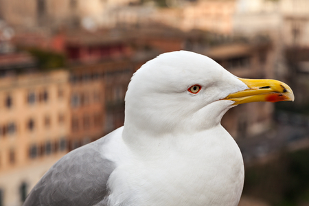 seabird: Close-up profile of a gull on a city background. Rome, Italy. Stock Photo