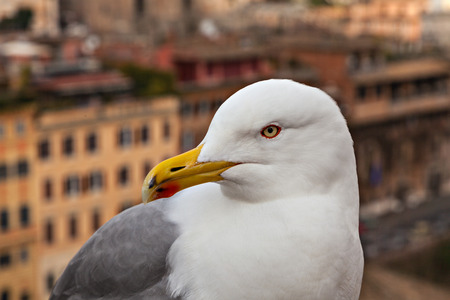 Portrait of a seagull on a urban background. Close Up. Rome, Italy. Stock Photo