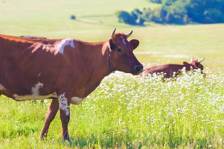 cows on summer meadow.Nature composition. photo
