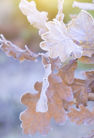 autumn oak leaf on branch with ice photo
