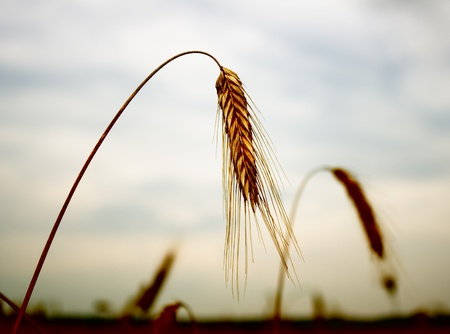 The hung ears of wheat. The hunger concept. photo
