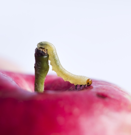 apple worm: worm move on surface of red apple